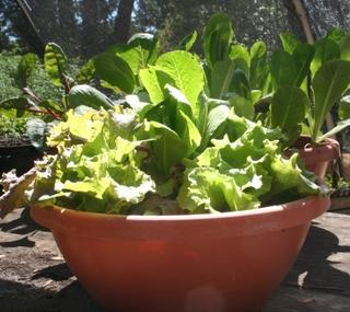 Lettuces in container, or