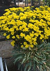 Chrysanthemums are synonymous with Fall