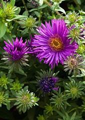 Michaelmas Daisy, Aster novae-angliae 'purple dome'