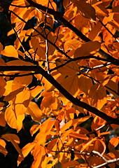 Fall color on the backlit leaves of a Fuyu Persimmon