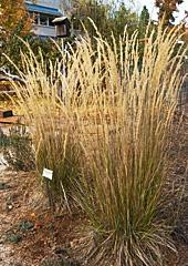 Feather Reed Grass, An Arboretum All Star, Calamagrostis x acutiflora 'Karl Foerster'
