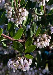 Sentinel Manzanita Arctostaphylos densiflora 'Sentinel'