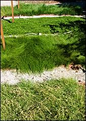 Lawn alternatives viewed from the top: Native Bentgrass, Kurapia, Native MowFree and Buffalo Grass