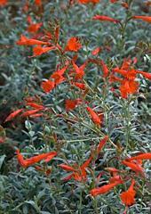 California Fuchsia, also known as Zauschneria