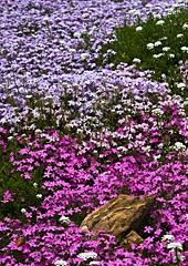 Phlox in the Foothill Mediterranean Garden Phlox stolonifera
