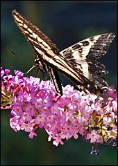 A Tiger Swallowtail nectars on a Butterfly Bush