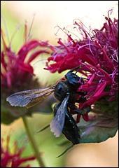 A Carpenter Bee enjoys the Bee Balm (Monarda didyma)