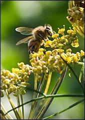 A honeybee on Leaf Fennel (Foeniculum vulgare 'Grosfruchtiger')