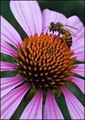 A bee and Purple Cone Flower ((Echinacea purpurea)
