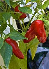 Medium hot Fresno peppers
