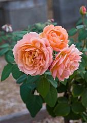 Paul Bocuse, a Generosa Shrub Rose
