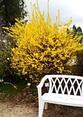 Forsythia sp.
